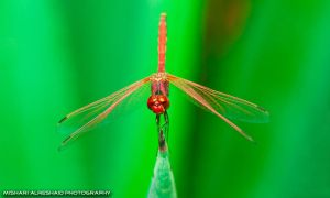 Red Dragonfly by Mishari-Alreshaid