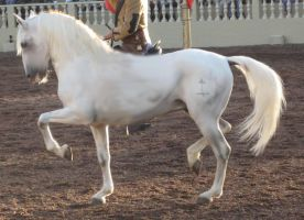 Lipizzaner Tack Removed by filly1