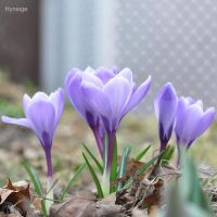 Crocus en tendresse de printemps III by hyneige
