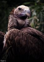 LAPPET FACED VULTURE by Yair-Leibovich