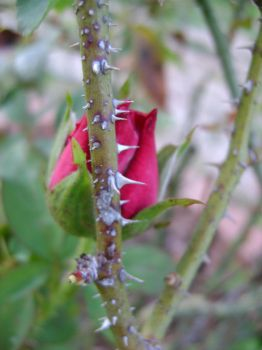 rose bud 8 by ShadowessofFlames