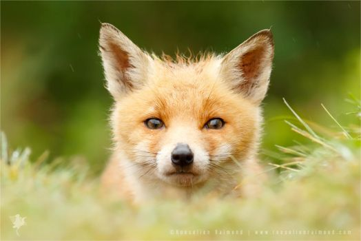 Bad Fur Day - Young Fox Cub by thrumyeye