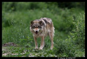 Hirsute, european wolf by Kiba67