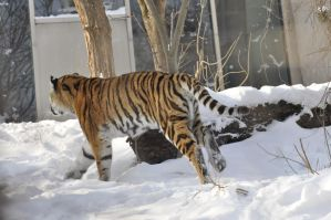 Winter Tiger 15 by windfuchs