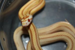 Butter Stripe Corn Snake by icantthinkofaname-09