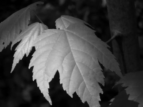 Leaves BW by Poopyhead613