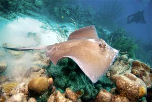 Bonaire stingray by DevilDiver