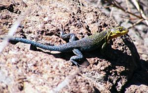 Lizard in the mountains 2 by blogdrakeart