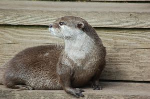 Otter by ELomas