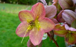 Hellebore by PamplemousseCeil