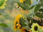 Sunflowers by dmguthery