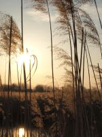 Reeds in the Wind by TotuFenghuang