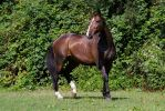 Heavy Warmblood Mare Standing Paddock by LuDa-Stock