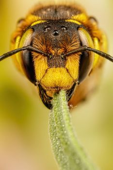 European Wool Carder Bee IV by dalantech