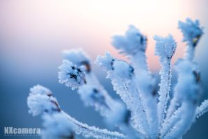 Frosty Flowers by NXcamera