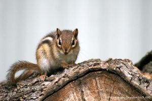 Chipmunk July 7, 2010 2 by UffdaGreg