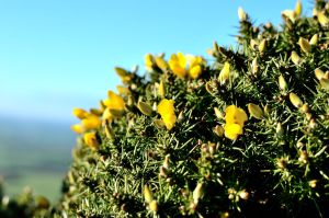Gorse at the trig point by murkin