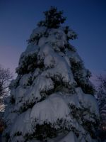 Snowy Spruce Tree at Nightfall by crotafang