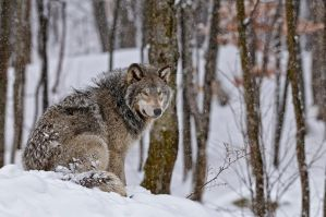 Timber Wolf by MichaelsPhotography