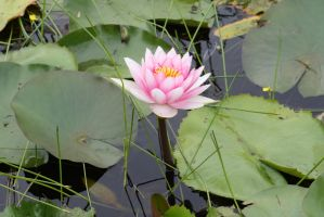 Water lily 2714 by fa-stock