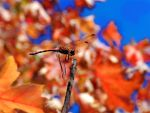 Red dragonfly by DaDa8686