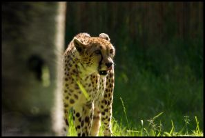 Liz the Cheetah by HarbingerPhotography