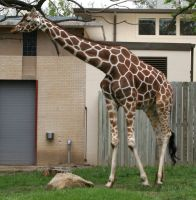 Gage Park Zoo 1 - Giraffe by Falln-Stock