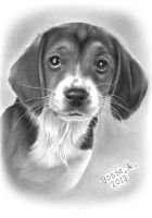 Beagle Puppy by Torsk1