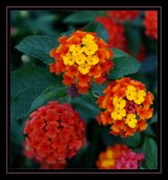 Multicolored Flowers by FilipaGrilo