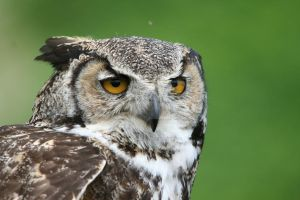 Great Horned Owl (Portrait) by achillesbeast