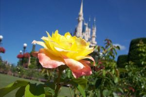 Disney Rose by JediChickFallon