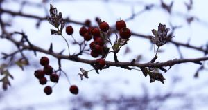 Those oozing red berries.. by Michaella-Designs