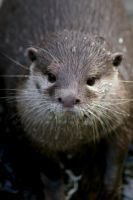 Otter IV by Caelitha