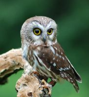 Northern Saw-whet Owl 2 by Novastar2486