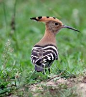 small hoopoe by analysis230