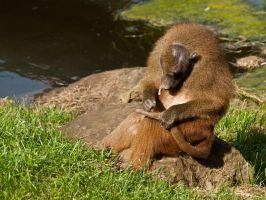 Guinea Baboon 01 - Sep 13 by mszafran