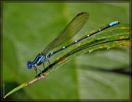 Blue-ringed Dancer 50D0005558 by Cristian-M