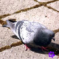 Feral Pigeon 005 (05.06.13) by LacedShadowDiamond