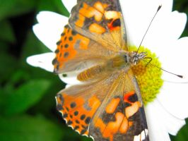 butterfly - 008 - 7-20-11 by joseph-sweet
