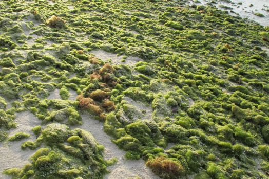 Lumpy Seaweed by LIMMANMY