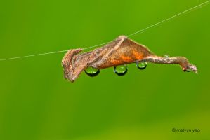 Scorpion Tailed Spider by melvynyeo