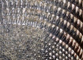 Armadillo Scales by Baq-Stock
