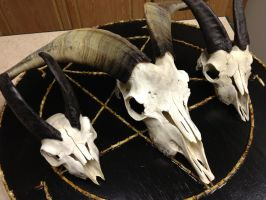 Quite the goat skull collection by SigilofSulfer