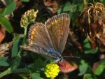 Female Common Blue by waterdrup