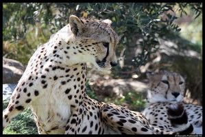 Cheetahs by TVD-Photography