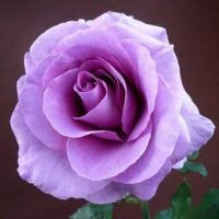 Purple Rose by MarMicheal