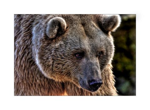 Syrian Brown Bear by Dr-Koesters
