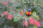 Lorikeet by WolfBlitz2