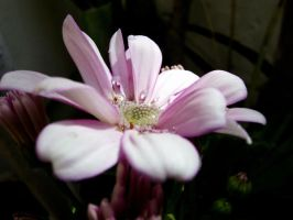 Pink Cineraria by ibg-5
