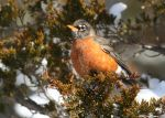Robin in the sun by natureguy